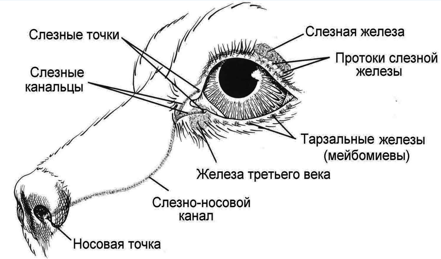 схема строения глаза домашних животных